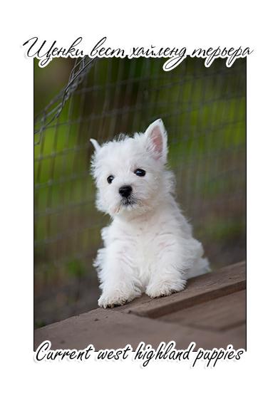 купить щенка вест хайленд уайт терьера